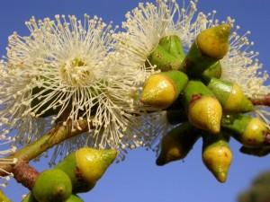 bundy-flower-and-buds-rs-dscn4771