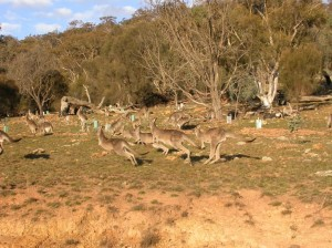 Kangaroos Mt Majura July 2009 rs