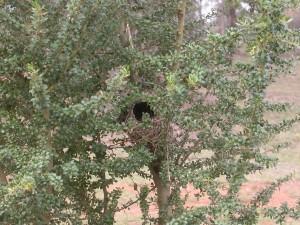 Nest @ the Fair in planted Bursaria rs crop DSCN1781