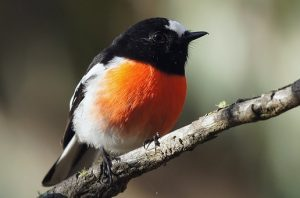 Scarlet Robin. Wamboin, NSW, Australia.