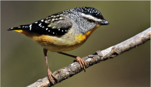 Spotted pardalote : from Canberrabirds.org.au