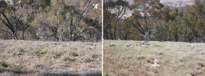 sheep camp before and after horehound removal Aug 05 and Dec 08 rs50