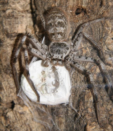 Female Huntsman with egg sac