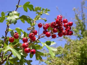 Hawthorn fruits rs DSCN5200