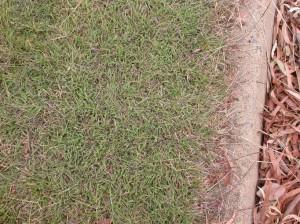 Redleg grass lawn
