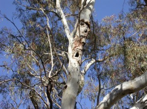 Old hollow bearing trees at the Majura paddock such as this Brittle gum provide habitat for nesting birds and for mammals.