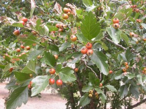 Fruiting Hawthorn at Valour Park