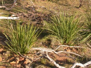 Spiny-headed mat-rush plantings west slope