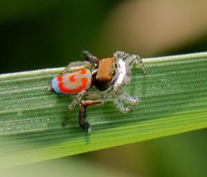 Peacock Spider Maratus pavonis crop DCS_2200