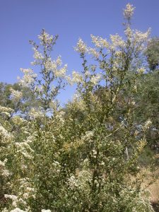 Planted native boxthorn in flower